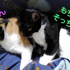 昼寝/猫/姉弟/フォロー大歓迎 おやつがすんでお昼寝 寒いので紗羅のそば…(2枚目)