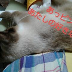 猫/シャム/ハンドメイド/フォロー大歓迎 瑠月がお出かけ用のお鞄を手に入れた模様 …