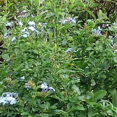 フォロー大歓迎 ブルーの可愛い花