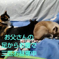 猫のいる暮らし/にゃんこ同好会 お父さんと3にゃんずのお昼寝 三匹が乗っ…