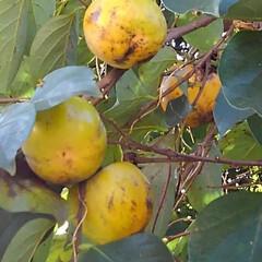 柿/秋/フォロー大歓迎 実りの秋 柿が美味しそうになってました