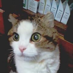 スコティッシュフォールド/ハート猫/令和元年フォト投稿キャンペーン/フォロー大歓迎/LIMIAペット同好会/にゃんこ同好会/... 元気な頃のレオにも肩の所に♥️がありまし…