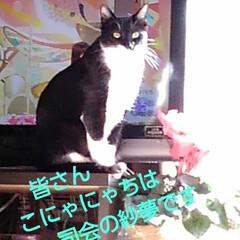 にゃんこ同好会/猫のいる生活/ねこ 日曜日、皆でテレビを見ていたら 突然ニュ…(1枚目)