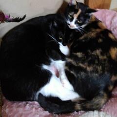 仲良し/猫/姉弟/フォロー大歓迎/白黒猫/三毛猫 ピンクハウスの 屋根のつぶれている原因で…
