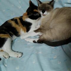 仲良し/お昼寝/猫/姉妹/フォロー大歓迎/次のコンテストはコレだ! テーマ「仲良し」はどうでしょうか? なん…