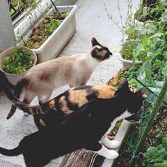 三姉弟/仲良し/猫/令和元年フォト投稿キャンペーン/フォロー大歓迎/LIMIAペット同好会/... ベランダ散策 仲良く散策していたら階下の…