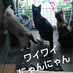 三姉弟/猫のいる生活/にゃんこ同好会/見張り隊 玄関でご機嫌のお眺め隊三匹(3枚目)