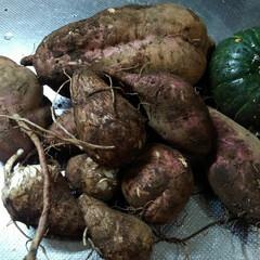 里芋/サツマイモ/秋の食材/フォロー大歓迎 秋の作物 さつまいも(安納芋)と里芋 一…