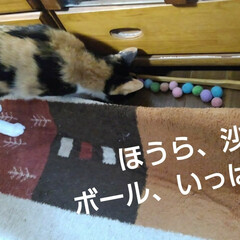 にゃんこ同好会/猫のいる生活 今日は一週間分のなくなったボールを沙羅ち…