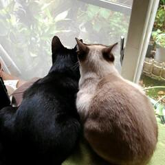 仲良し/猫/姉弟/フォロー大歓迎/ここが好き 体重1キロの差が出てる後ろ姿