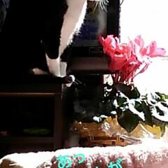 にゃんこ同好会/猫のいる生活/ねこ 日曜日、皆でテレビを見ていたら 突然ニュ…(2枚目)
