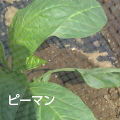 畑の野菜 今日も(3日め)紗夢たんのお父さんは 一…(4枚目)