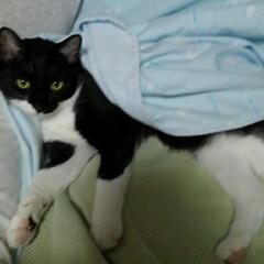 白黒猫/猫/仲良し/お父さんと一緒/フォロー大歓迎/LIMIAペット同好会/... 今日のお父さんとの一枚  お父さんのお隣…