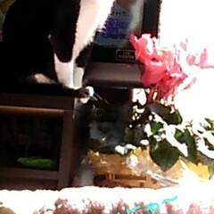 にゃんこ同好会/猫のいる生活/ねこ 日曜日、皆でテレビを見ていたら 突然ニュ…(4枚目)