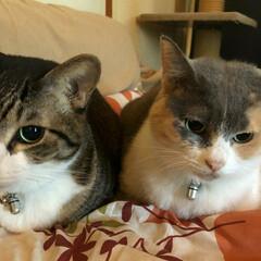 仲良し/お留守番/フォロー大歓迎/ペット/にゃんこ同好会/おでかけ 3ニャンズのおじさん、おばさん猫(楓、凪…