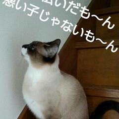 猫/にゃんこ同好会/ご挨拶/シャム猫/フォロー大歓迎 おはようございます🐱 日曜日です  今日…(4枚目)