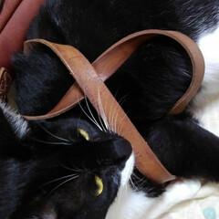 白黒猫/フォロー大歓迎/LIMIAペット同好会/にゃんこ同好会/うちの子ベストショット サムがかばん背負ったまま寝たふり さては…(2枚目)