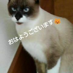 猫/にゃんこ同好会/ご挨拶/シャム猫/フォロー大歓迎 おはようございます🐱 日曜日です  今日…