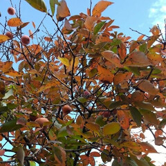 風景/秋 地主さんちの柿を頂きました  富有柿です…(1枚目)