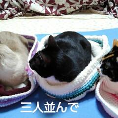 ねこベッド/にゃんこ同好会/お揃い/仲良し/猫/三姉弟/... やっとそれぞれのベッドで  小さいの真ん…