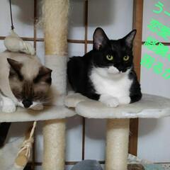 猫/姉弟/フォロー大歓迎 昨日の夜の事 瑠月と紗夢が 仲良く並んで…(3枚目)