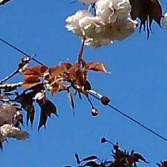 風景/八重桜 満開の八重桜さん 散る前にご紹介 うーく…(5枚目)