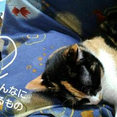 にゃんこ同好会/シャム猫 るっちゃんの枕 編み物中の母の毛糸