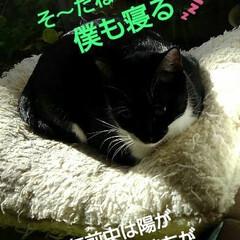 リミアペット同好会/猫/姉弟/昼寝/リミアの冬暮らし 午前中、居間のこの場所は お日様が差し込…(5枚目)