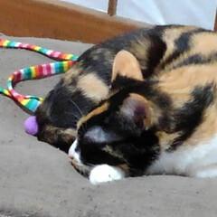猫の気持ち/三毛猫/猫のいる暮らし/にゃんこ同好会 昨日の遊んだ後の紗羅 自分の遊んで欲しい…