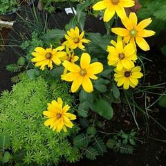 庭の夏の花/フォロー大歓迎/夏のお気に入り/写真/夏の花 庭に咲いている夏の花達(4枚目)