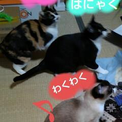 猫のいる暮らし/ねこ/にゃんこ同好会 新しいおもちゃで遊んでもらい ご満悦の3…(3枚目)