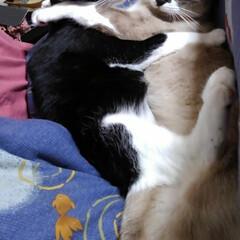 にゃんこ同好会/猫/姉弟/フォロー大歓迎 こたつに座るがはやいか 二匹同時に乗って…(2枚目)