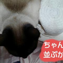 シャム猫/にゃんこ同好会/ねこ 夏用の帽子が出来たので リミアのハンドメ…(3枚目)