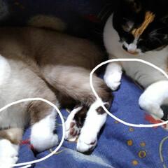 猫/シャム/三毛猫 曲げても伸ばしても眺めるのも シンクロ(…