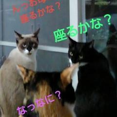 三姉弟猫 膝取り合戦  良くみていて 素早く膝に座…