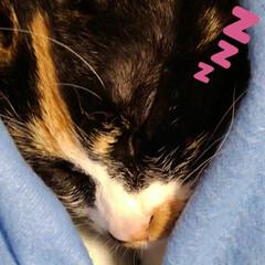 猫のいる生活/にゃんこ同好会 昼過ぎにソファーで沙羅が昼寝 あまりにも…(2枚目)
