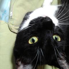白黒猫/お昼寝/フォロー大歓迎/LIMIAペット同好会/にゃんこ同好会/うちの子ベストショット 僕だって一人で寝られるにゃん🎵💤😻