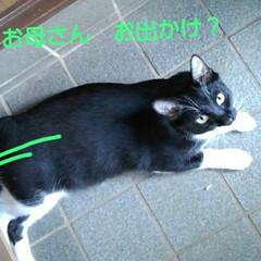 お見送り/白黒猫/お出かけ/フォロー大歓迎 紗夢のお出かけ阻止  いきなりコロンと寝…