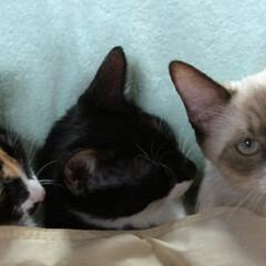 仲良し/三兄妹/お昼寝/LIMIAペット同好会/ペット/猫/... 3匹 仲良くお昼寝 腕枕をそっと抜き ま…