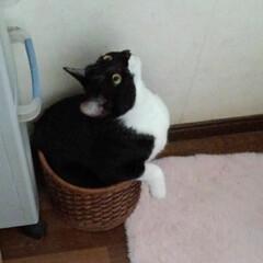 いいね/仲良し/ごみ箱/猫/姉弟/フォロー大歓迎/... 屑入れに入る紗夢と沙羅 今は大きくなった…