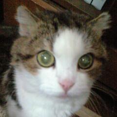 猫/スコティッシュフォールド/フォロー大歓迎/LIMIAペット同好会/にゃんこ同好会 シャロンと兄弟だったレオ(オス) 背中に…