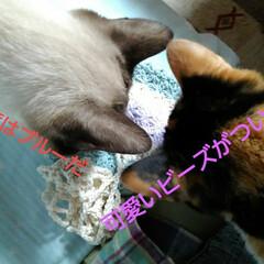 猫/姉妹/フォロー大歓迎 紗羅はブルー系がお好きのようです