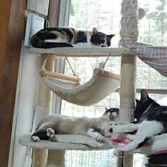 猫のいる生活/にゃんこ同好会/三姉弟 うー君につられて落ち着かなかった にゃん…