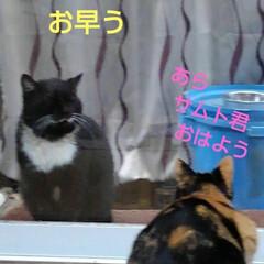 猫のいる暮らし/ねこ/にゃんこ同好会 朝の沙羅ちゃんとサムト君の会話 おしゃべ…(1枚目)