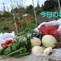 風景/畑/朱色/フォロー大歓迎 今日も収穫物です 10日ぶりなのでスゴイ…