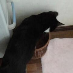 いいね/仲良し/ごみ箱/猫/姉弟/フォロー大歓迎/... 屑入れに入る紗夢と沙羅 今は大きくなった…(3枚目)