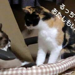 にゃんこ同好会/猫/姉妹 紗羅が瑠月と寝たくて じゃれあい、噛み合…
