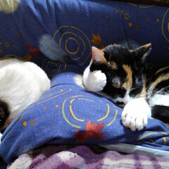 昼寝/三毛猫/猫のいる暮らし/にゃんこ同好会 沙羅ちゃんのお昼寝 なんか考えながらのお…(2枚目)