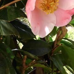 椿/つわぶき お婆ちゃんちのツワブキとピンクの椿(3枚目)
