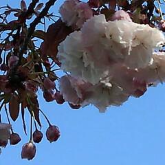 風景/八重桜 満開の八重桜さん 散る前にご紹介 うーく…(4枚目)